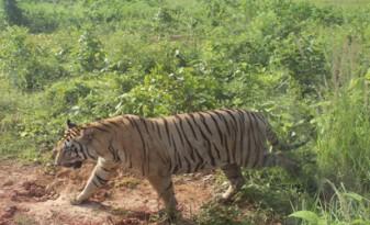 tiger-337x205